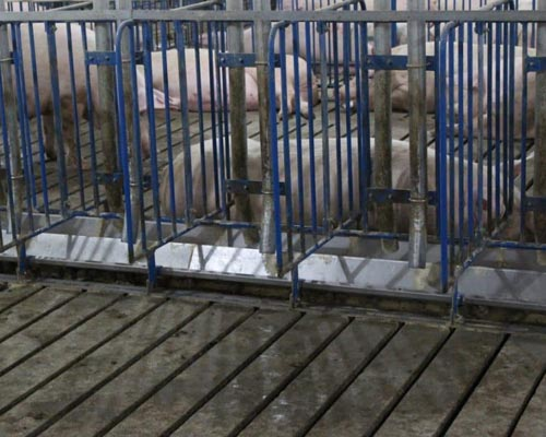 Hoq Equipment Gestation Stanchion
